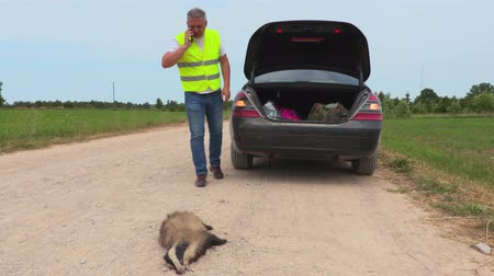 violence : Dead badger on road near car Stock Footage