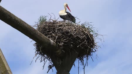 птицы : Stork in nest in summer Стоковые видеозаписи