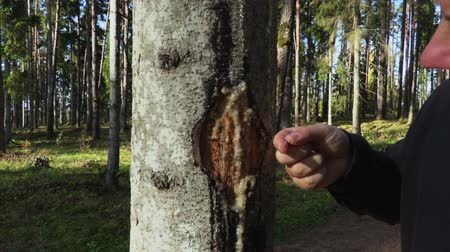 âmbar : Man examines pine resin on the tree trunk Vídeos