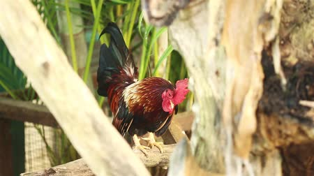 kakas : Rooster looking around and crowing