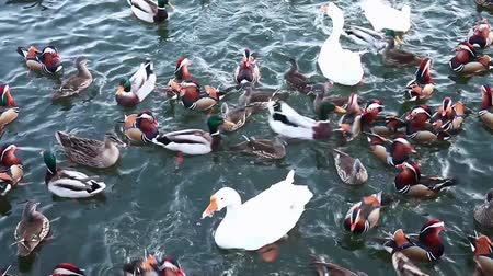 animais : Ducks and geese swimming together Stock Footage