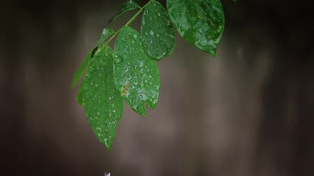 damlatma : Raindrops falling on leaves