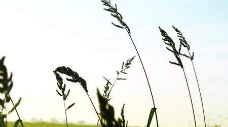 шелуха : Rice plant on the paddy field