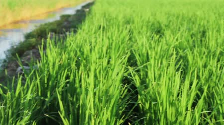 посвящение : Close up of paddy field