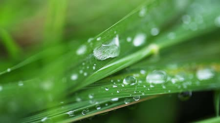 gota de orvalho : Close up of dew drops on grass