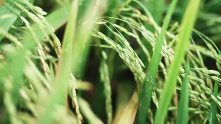 посвящение : Close up of a paddy plant