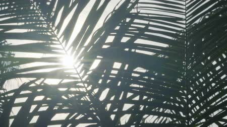 palm oil plantation : View of palm tree leaves against the sunlight