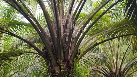kapradina : View of oil palms in a plantation