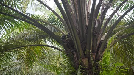 palm oil plantation : Close up of oil palm in a plantation Stock Footage