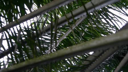 palm oil plantation : Low angle view of palm oil leaves Stock Footage