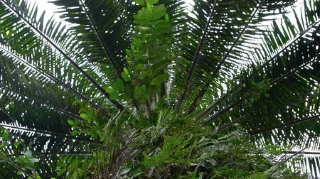 ferns : Low angle view of a palm oil tree