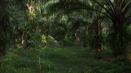 palm oil plantation : Palm oil trees in a plantation