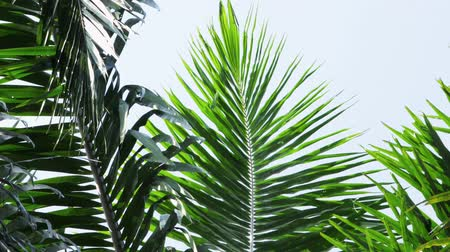 palmas das mãos : Palm oil tree leaves Vídeos