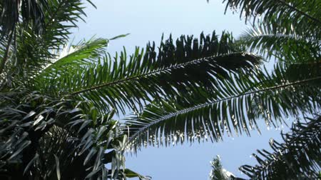 palm oil plantation : Palm oil leaves against the sky