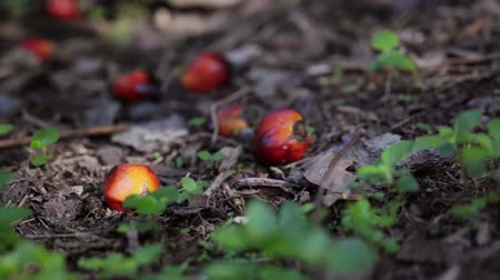 ot : Palm oil fruits on the ground Stok Video