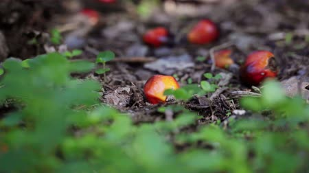 ot : Palm oil fruits on the ground coming into focus