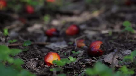 palm oil plantation : Palm oil fruits on the ground Stock Footage