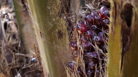 palm oil plantation : Close up of palm oil fruits on tree