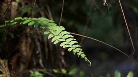 kapradina : Fern leaves in a jungle