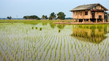 subsistence : Time Lapse - a house at a paddy field. Camera pan right