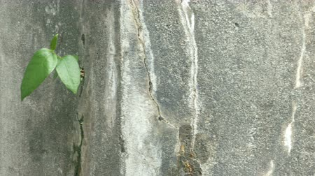 Close-up pan to green leaves on cracking wall.