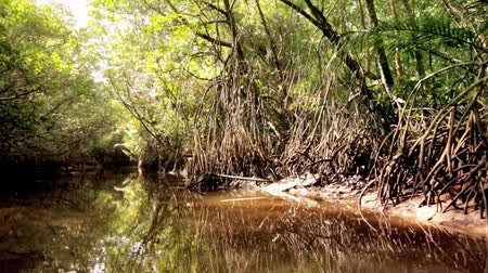mangue : Jungle Mangrove River POV View Through