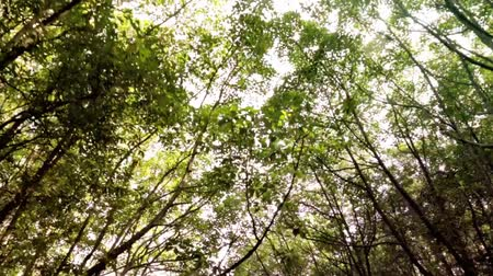 mangrovie : Jungle Canopy POV vista attraverso