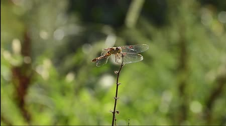 annoyance : dragonfly on a branch on blurry green background on a windy day Stock Footage