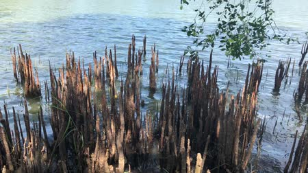 tava : Some old stumps with fine wave on classic lake in fine nature of the day, footage Stok Video