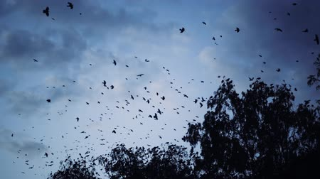 birds flying : a flock of crows flying over the trees Stock Footage