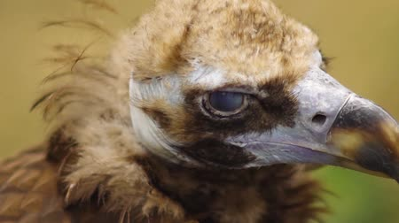 bald mountain : Closeup of vulture at zoo park. Stock Footage