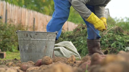 subsistence : Workers in garden and bucket of potatoes. Harvest time, planting potatoes. Family farmers. Seasonal job
