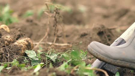 subsistence : fermer digging the earth with forks to find potatoes slowmotion. organic food concept. Stock Footage
