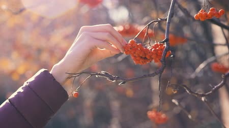 fruitful : woman hand takes berries from a tree.