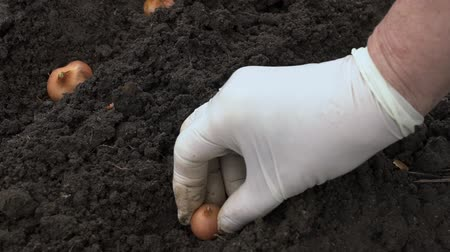 onion planting in early spring. Hands plant a young onion for sprouting. Stok Video