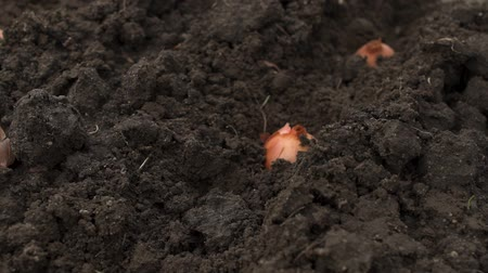 beginnings : onion planting in early spring. Hands plant a young onion for sprouting. Stock Footage
