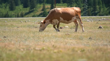 düve : ows grazing in a fresh green field. Organic, natural, healthy food concept Stok Video