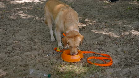 krátkosrstá : The dog drinking a water from a plastic bowl