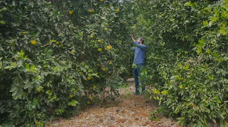 pomar : Young man walking among the citrus trees on the green plantation