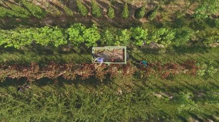 pick : Workers collect havrest in the garden. Seasonal harvesting in process. People collect harvest using a machine elevator. Trees grow in neat rows in the garden Stock Footage