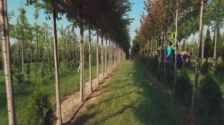 winda : Workers take care of trees in the garden. People cut tree branches using a machine elevator and special sticks. Trees grow in neat rows in the garden