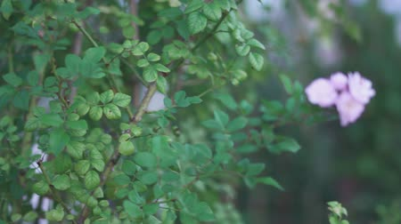 briar : Bush of a garden rose in the garden. Close-up of a rose. Background. Stock Footage