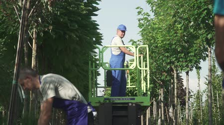 winda : Workers cut leaves and branches in the garden. Work of gardeners in process. People take care of trees using a machine elevator. Man throw leaves to lady. Trees grow in neat rows in the garden. Camera goes from left to right. Wideo