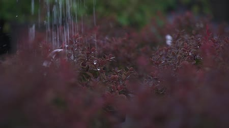 pingos de chuva : Watering plants in the garden. Water pouring at the red leaves. People care of plants. Gardeners do their work with bushes carefully