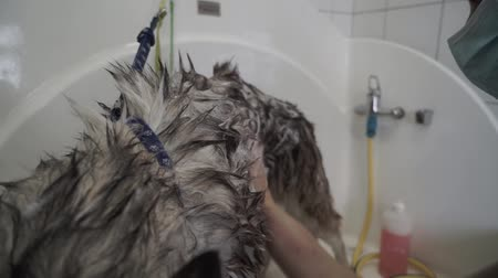 fancier : Female hand carefully applies shampoo to dog fur. Slow motion.