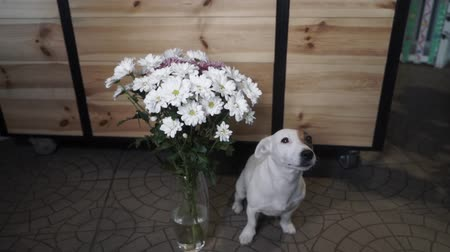 fancier : Jack Russell Terrier sitting near a vase full of daisies. Gift is waiting for its recipient. Slow Motion.