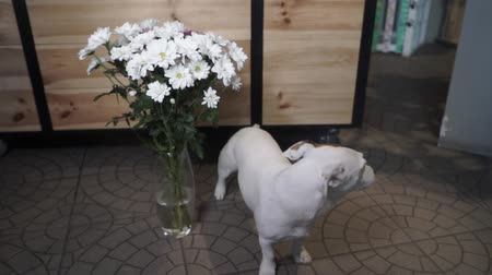 camomila : Jack Russell Terrier sitting near a vase full of daisies. Gift is waiting for its recipient. Slow Motion.
