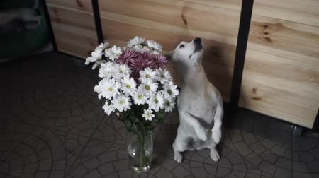 curioso : Jack Russell Terrier sitting near a vase full of daisies. Gift is waiting for its recipient. Slow Motion.