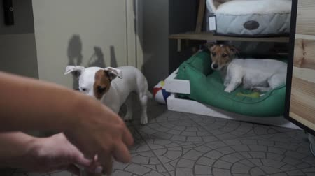 gnaw : Woman teasing Jack Russell Terrier with food. Female hand giving bone to a dog. Full glass of dog food. Treat for pets. Slow motion. Stock Footage