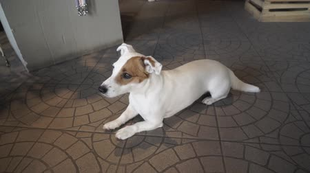 fancier : Tired Jack Russell Terrier lying on the ground. The dog is waiting for his owner. Camera moves from left to right.